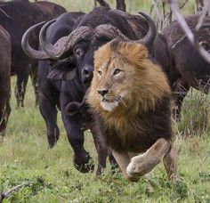 Cape buffaloes chasing a lion