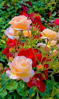 Beautiful Flowers Wallpapers, Beautiful Rose Flowers, Flowers Nature, Beautiful Gardens, Rose Flower Wallpaper, Purple Tulips, Exotic Plants, Vintage Flowers, Trees To Plant