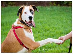Max is a sweet St. Bernard mix available for adoption from County of San Diego - Animal Services