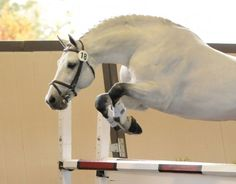 Chicardo (Clinton I/Corofino I/Redfort) - Holsteiner. 2nd at the 2011 NA 70 Day Stallion Test. Perfect 10 for character.