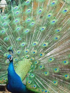 India-Blue Peacock Peacock And Peahen, Indian Peacock, Beautiful Birds, Beautiful World, Peafowl, Animals Of The World, Funny Art, Art And Architecture, Celebrity Weddings