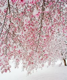 These cherry trees were just beginning to bloom when our area received it's first measurable snowfall... and it's spring time! Go figure!