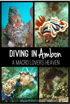"A macro lover's heaven! Are you a scuba diver who loves the smallest critters? Ambon is getting recognition as the ""next Lembeh."" Check out this guide for all the tips on how to plan your diving trip to Ambon! Best Scuba Diving, Scuba Diving Gear, Padi Diving, Weather In India, Solo Travel Tips, Travel Info, Travel Advice, Diving Board, Diving Course"