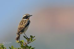 Winchat - During spring migration on Crete