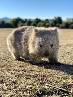 Do you guys like Wombats? Picture taken on Maria Island in Tasmania. via aww on April 21 2019 at Cute Wombat, Baby Wombat, Animals And Pets, Baby Animals, Funny Animals, Cute Animals, Wombat Pictures, Animal Pictures, Australia Animals