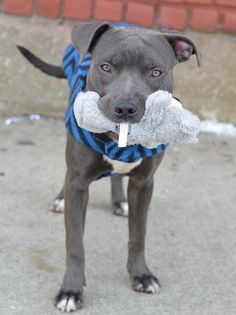 SAFE 02/19/15!  Was TO BE DESTROYED - 02/19/15 Brooklyn Center   My name is SILLY BEAN. My Animal ID # is A1027820. I am a male gray and white am pit bull ter mix. The shelter thinks I am about 1 YEAR.  For more information on adopting from the NYC AC&C, or to  find a rescue to assist, please read the following: http://urgentpetsondeathrow.org/must-read/