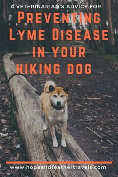 A small animal veterinarian outlines current recommendations for tick disease prevention in dogs, especially Lyme disease.  Dogs who hike are especially susceptible to Lyme disease and specific prevention measures nearly eliminate the risk. #ticks #tickprevention #hikingsafety #hikingdogs #lymedisease #lyme #dogs