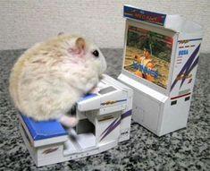 Hamster-Info + como adiestrarlo + imagenes - Taringa!