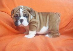 wook at de wittle pupper dog....: Bulldog Teacup, Pupper Dog, English Bulldog Puppies, Pet, Teacup Bulldog, Baby Animals, Mini English Bulldogs, Bull Dogs