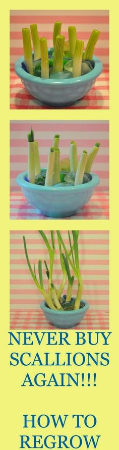 How To Grow Green Onions. Never buy scallions again, simply cut and regrow! Super fun and easy DIY trick.