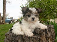 what is party colored morkie? - Yahoo Image Search Results