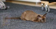 Burmese, Cats, Animals, Gatos, Animales, Animaux, Animal, European Burmese, Cat
