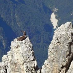 Victory is Achieved! A mountain goat making people wonder how the hell he climbed there!!