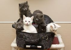 Six abandoned kittens were found in a suitcase in Edmonton, Alberta, Canada.  Hope they all found good homes.
