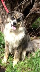 Meet CHANCE, an adopted Australian Shepherd & Husky Mix Dog, from Animal Rescue Associates, Inc. in Arlington Heights, IL on Petfinder. Learn more about CHANCE today. Australian Shepherd Husky, Arlington Heights, Husky Mix, Animal Rescue, Clever, Adoption, Funny, Dogs, Cute