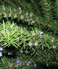I am obsessed with rosemary. It smells good and it's pretty!!