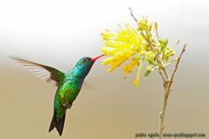 mis fotos de aves: (Trochilidae)