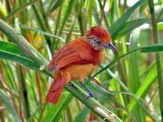 South American Birds South american continent- female BARRED ANTSHRIKE