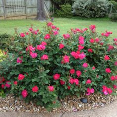 """Knock out roses. This hardy breed is resistant to disease and can bloom generously  especially when springtime comes. Knockout roses are also self-cleaning, so one never has to worry about dead buds. They can be planted in gardens or containers. Available in 24"""" and 36"""" rose trees, and as shrubs in single bloom in red pink and yellow, and double blooms in red and pink"""