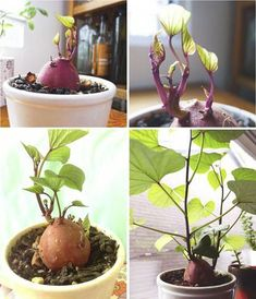 How to Grow A Sweet Potato Vine Plant (outdoor flower planters potato vines) Garden Care, Sweet Potato Plant Vine, Sweet Potato Vines, Sweet Potato Flower, Growing Plants, Growing Vegetables, Growing Sweet Potatoes, Grow Potatoes, Decoration Plante