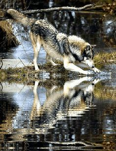 THE WOLF WITHIN - Wolf,WolvesGif/Motions - Comunidad - Google+