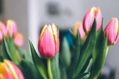 Tulips  free high-resolution photo about Nature background beautiful beauty bloom blossom blurred bright closeup color colorful day field flora floral flower fresh garden green natural nature pink postcard pretty red romantic season seasonal spring summer tulip Tulips Valentine vivid white
