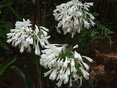 White Flowers Names | White Lily Of The Nile Pictures | All Flowers | Send Flowers Comments ...