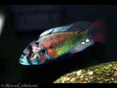 Xystichromis phytophagus - Lake Victoria Cichlids