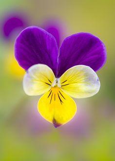 Johnnie jump ups (viola)    #annual #flower