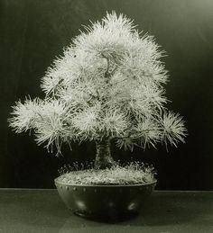 Japanese White Pine Bonsai Tree (Pinus parviflora) by Steve Greaves, via Flickr