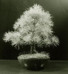 Japanese White Pine Bonsai Tree (Pinus parviflora) by Steve Greaves, via Flickr