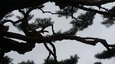 위풍당당한 교실 앞 소나무의 기개