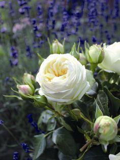 Nostalgie®-Edelrose 'Wedding Piano' ® - Rosa 'Wedding Piano' ®