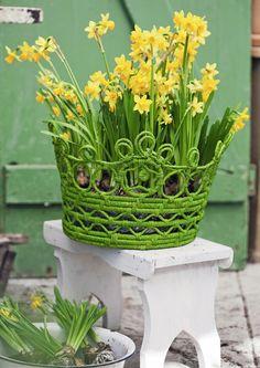 Keväisin ruukuissa myytävillä 'Tête à Tête' -pikkunarsisseilla on monta kukkaa samassa varressa. Kirkkaankeltainen tetenarsissi sopii kasvatettavaksi sekä sisällä että ulkona, mutta kukinta kestää pidempään viileässä. Kuva Minna Mercke Schmidt