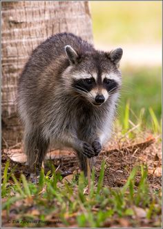 1000 images about rascal racoons on pinterest raccoons for Do raccoons eat fish
