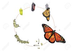Visit our online store to order a monarch butterfly raising kits. These kits come with everything you need to raise your caterpillars into healthy beautiful butterflies. Metamorphosis Tattoo, Butterfly Metamorphosis, Butterfly Drawing, Butterfly Frame, Caterpillar Tattoo, Monarch Caterpillar, Butterfly Cocoon, Butterfly Transformation, Butterfly Migration