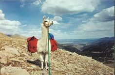 Go Camping with Llamas at Spruce Ridge Llamas Salida, Colorado - Since 1993, Spruce Ridge Llamas has been leading overnight llama pack trips through fifteen of the Rockies' fourteeners—that is, peaks that reach more than 14,000 feet. From a ranch 150 miles south of Denver, take a guided eight-mile hike along Spruce Creek trail through aspen and lodgepole pine forests, pitching your tent at night to cook a hobo dinner (meat, potatoes, carrots, and onions wrapped in foil) over an open fire…