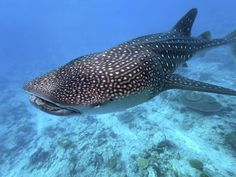 Information about whale sharks. Facts, images and photos on the whale shark species (Rhincodon typus), the largest extant fish. Whale Shark Facts, Whale Shark Diving, Swimming With Whale Sharks, Shark Shark, Big Whale, Baleen Whales, Shark Pictures, Fauna Marina, Big Sea