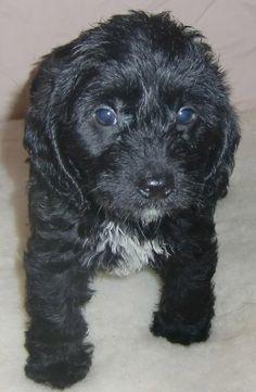 Super cute Poogle puppy like my Cole who I miss