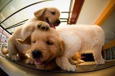 Golden retriever puppy playtime!