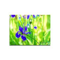 Leinwandbild Wiesen-Iris im flirrenden Licht