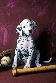 Dalmatian Puppy With Baseball Photograph  - Dalmatian Puppy With Baseball Fine Art Print