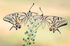 transparent twin Papilio machaon - Nature Details   Landscape Macro Wildlife