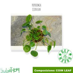 Peperomia Coin Leaf Coins, Leaves