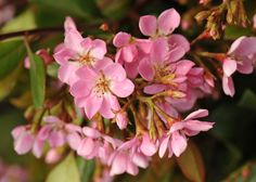 Buy Indian hawthorn Rhaphiolepis indica 'Springtime = ('Monme')': Delivery by Crocus.co.uk