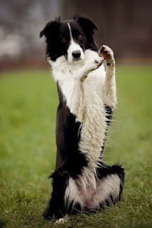 """Border Collie """"time-out! West Highland Terrier, Australian Shepherds, Scottish Terrier, I Love Dogs, Cute Dogs, Awesome Dogs, Rottweiler, Hachiko, Mountain Dogs"""