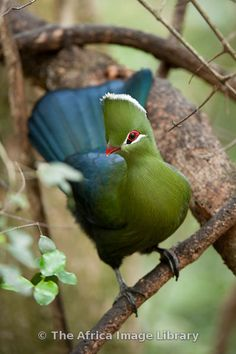Photos and pictures of: Knysna Turaco, Tauraco corythaix, Birds of Eden, Plettenberg Bay, South Africa - The Africa Image Library Kinds Of Birds, All Birds, Little Birds, Love Birds, Knysna, Pretty Birds, Beautiful Birds, Animals Beautiful, Exotic Birds