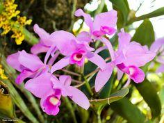 #CulturaDelMundo - La Guaria Morada es la flor nacional de Costa Rica - Esta orquídea simboliza la belleza del pueblo costarricense y crece en casi todo el país. La Guaria Morada es también la flor nacional de Costa Rica, porque es la mística flor de la fe, que se heredó de los mayores. Era la flor predilecta de la cuaresma, de la Semana Santa.