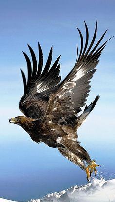 "erwinlobo28: ""Eagle """