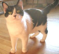 URGENT!!! Aziza is an adoptable Domestic Short Hair-Black And White Cat in Pleasant Valley, CT. Time is running out for this adorable kitty. If you are interested in adoption, please send an e-mail to...